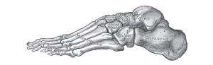 Foot- Gray's Anatomy