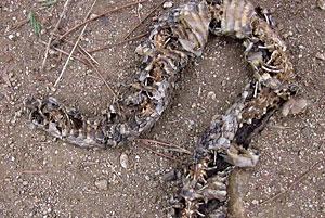 Desiccated Rattlesnake