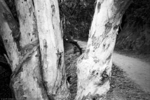 Tree, Elysian Park