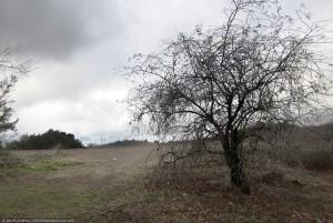 Topanga Tree