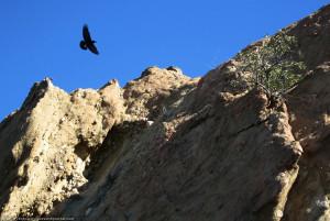 Crow, Topanga