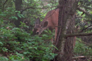 Deer in Angeles Forest