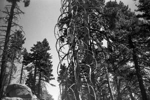 Idyllwild - San Jacinto Mountains - Trees