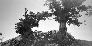 Limber Pine on Mt. Baden Powell