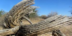 Desiccated cactus
