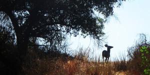 Brown Mountain Deer