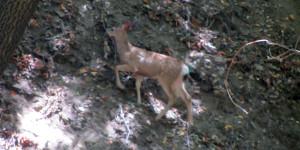 Deer, Idle Hour